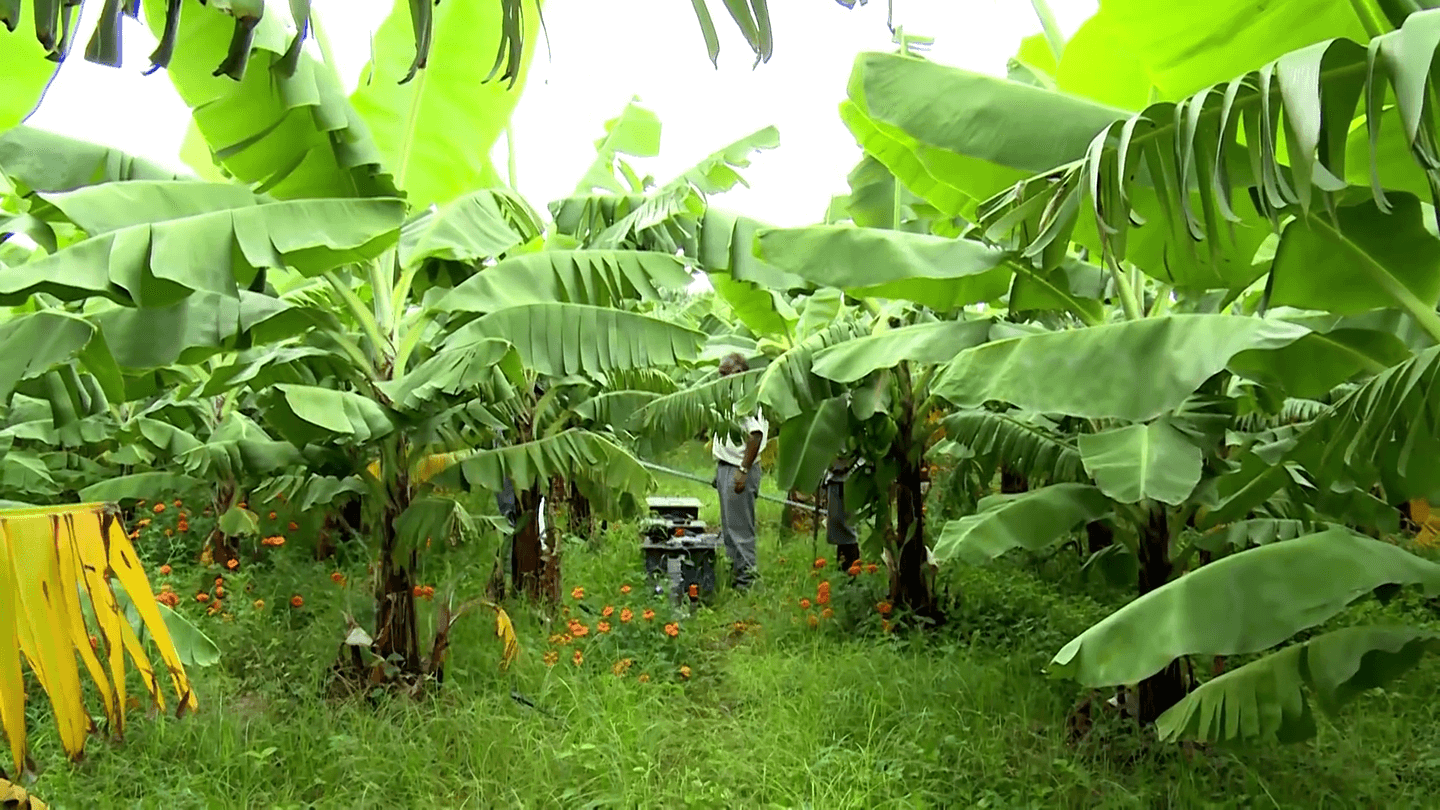 Banana and other fruits 1